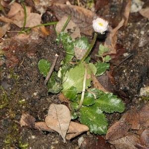 Photographie n°2279810 du taxon Bellis perennis L.