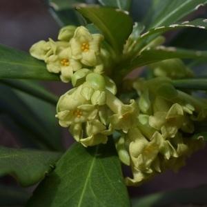 Photographie n°2279823 du taxon Daphne laureola L. [1753]