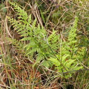 Photographie n°2280172 du taxon Asplenium adiantum-nigrum L.
