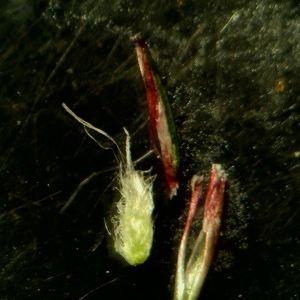 Photographie n°2280207 du taxon Mibora minima (L.) Desv.