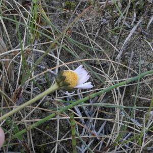 Photographie n°2280214 du taxon Bellis perennis L.