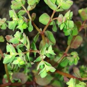 Photographie n°2280419 du taxon Euphorbia peplus L. [1753]