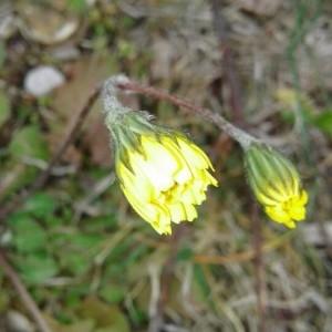 Photographie n°2280422 du taxon Crepis sancta (L.) Bornm. [1913]