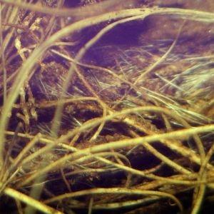 Photographie n°2280760 du taxon Ranunculus bulbosus L. [1753]