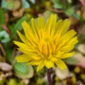 Photographie n°2280809 du taxon Crepis sancta (L.) Bornm. [1913]