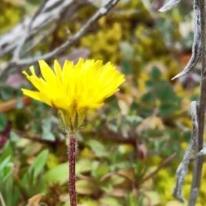 Photographie n°2280811 du taxon Crepis sancta (L.) Bornm. [1913]