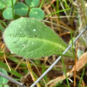 Photographie n°2280817 du taxon Crepis sancta (L.) Bornm. [1913]