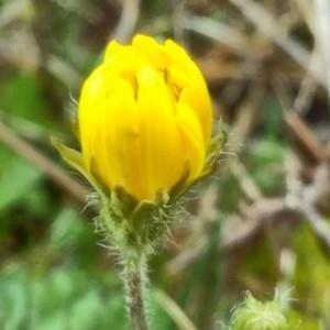 Photographie n°2280818 du taxon Crepis sancta (L.) Bornm. [1913]