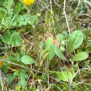 Photographie n°2280820 du taxon Crepis sancta (L.) Bornm. [1913]