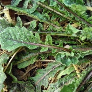 Photographie n°2280827 du taxon Crepis sancta (L.) Bornm. [1913]