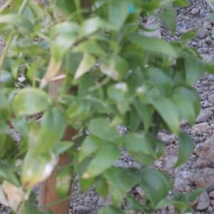 - Asparagus medeoloides (L.f.) Thunb.