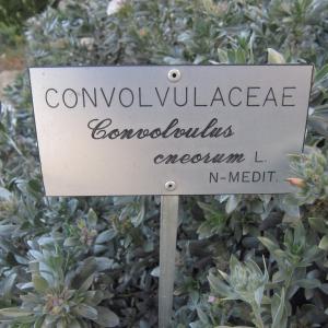Photographie n°2280874 du taxon Convolvulus cneorum L.