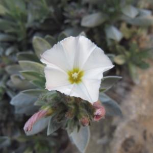 Photographie n°2280876 du taxon Convolvulus cneorum L.