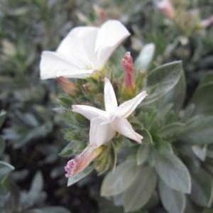 Photographie n°2280879 du taxon Convolvulus cneorum L.