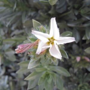 Photographie n°2280880 du taxon Convolvulus cneorum L.