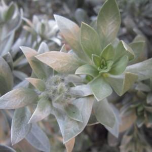 Photographie n°2280881 du taxon Convolvulus cneorum L.