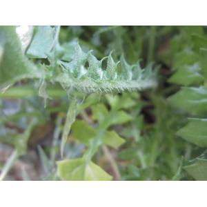 Hyoseris taurina (Pamp.) Martinoli