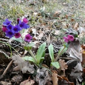 Photographie n°2281090 du taxon Pulmonaria longifolia subsp. cevennensis Bolliger
