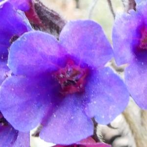 Photographie n°2281093 du taxon Pulmonaria longifolia subsp. cevennensis Bolliger