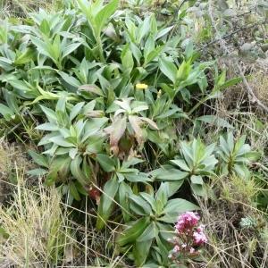 Photographie n°2281180 du taxon Centranthus ruber (L.) DC. [1805]
