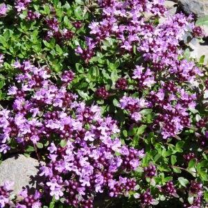 Photographie n°2281219 du taxon Thymus praecox subsp. praecox