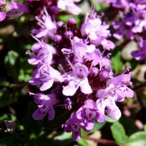 Photographie n°2281220 du taxon Thymus praecox subsp. praecox
