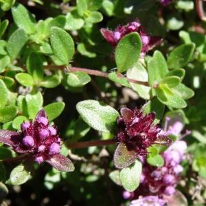 Photographie n°2281221 du taxon Thymus praecox subsp. praecox
