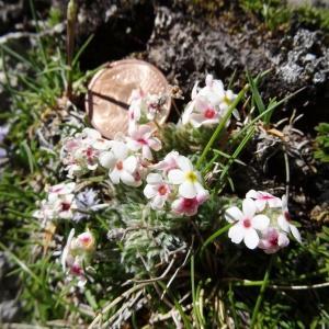Photographie n°2281451 du taxon Androsace villosa L. [1753]