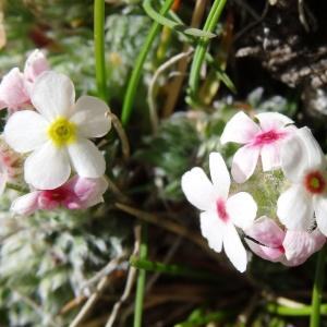 Photographie n°2281452 du taxon Androsace villosa L. [1753]