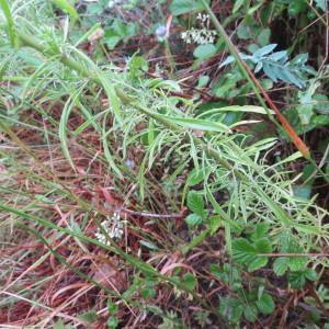 Photographie n°2281503 du taxon Anarrhinum bellidifolium (L.) Willd.