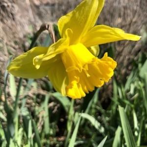 Photographie n°2281505 du taxon Narcissus pseudonarcissus L. [1753]