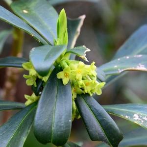 Photographie n°2281583 du taxon Daphne laureola L. [1753]