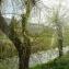 Salix babylonica L. [nn59332] par Société Botanique Gentiana le 13/03/2019 - Moirans