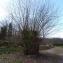 Salix alba L. [nn59255] par Société Botanique Gentiana le 13/03/2019 - Saint-Quentin-sur-Isère