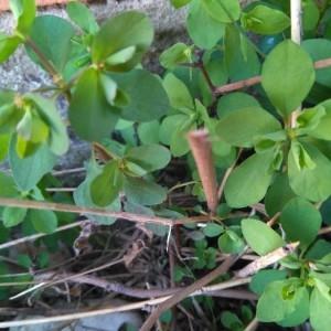 Photographie n°2282472 du taxon Euphorbia peplus L. [1753]