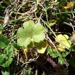 Photographie n°2282505 du taxon Saxifraga granulata L.
