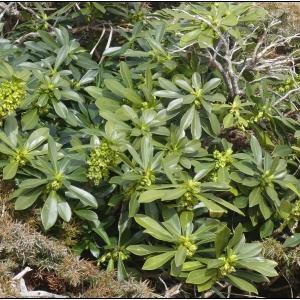 Photographie n°2282521 du taxon Daphne laureola L. [1753]