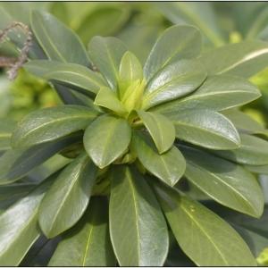 Photographie n°2282522 du taxon Daphne laureola L. [1753]