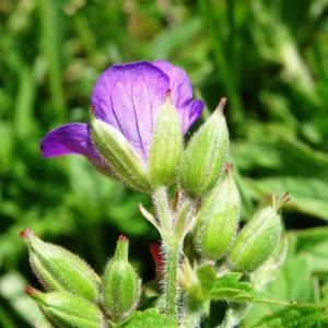 Photographie n°2282534 du taxon Geranium sylvaticum L. [1753]