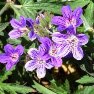 Photographie n°2282536 du taxon Geranium sylvaticum L. [1753]