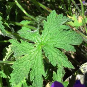 Photographie n°2282976 du taxon Geranium sylvaticum L. [1753]