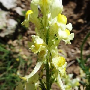 Photographie n°2283153 du taxon Linaria supina subsp. pyrenaica (DC.) Nyman [1881]