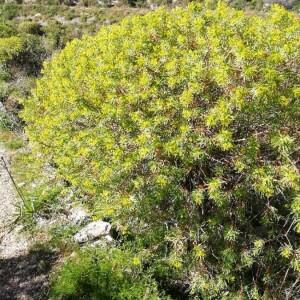 Photographie n°2283284 du taxon Euphorbia dendroides L. [1753]