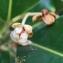 Mimusops coriacea (A.DC.) Miq. [nn4645] par Liliane Roubaudi le 08/03/2019 - République dominicaine