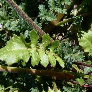 Photographie n°2283600 du taxon Crepis sancta (L.) Bornm. [1913]