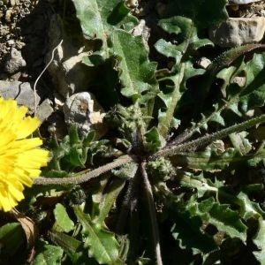 Photographie n°2283601 du taxon Crepis sancta (L.) Bornm. [1913]