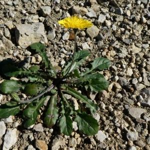 Photographie n°2283602 du taxon Crepis sancta (L.) Bornm. [1913]