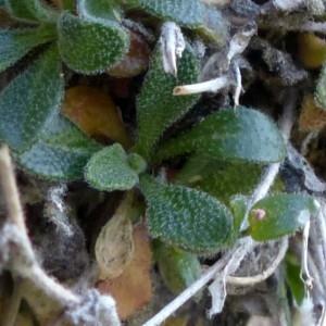 Photographie n°2283712 du taxon Arabis serpillifolia Vill. [1779]