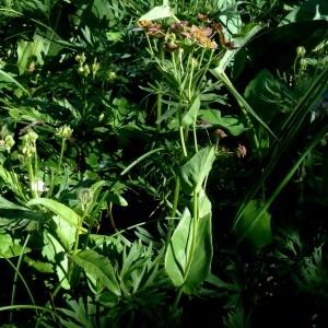 Photographie n°2283773 du taxon Bupleurum longifolium subsp. longifolium