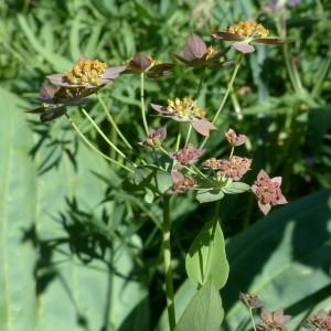 Photographie n°2283774 du taxon Bupleurum longifolium subsp. longifolium